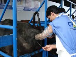 Animais e a inseminação artificial